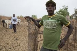 Benogo Diarra, 25, needs to make adequate to cover his subsistence as a miner so he manages cattle for Modibou Diallo, 42, who's an agronomist into the civil solution working for the Sélingué dam management company (ODRS) (picture: Mike Goldwater/GWI)
